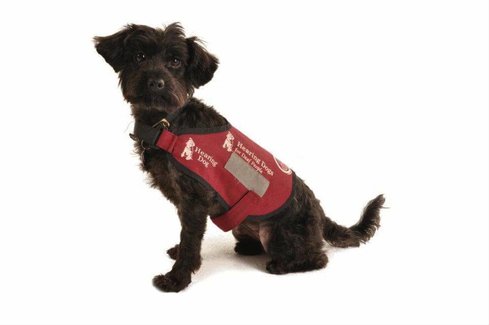 Small black dog wearing a maroon hearing dog coat.