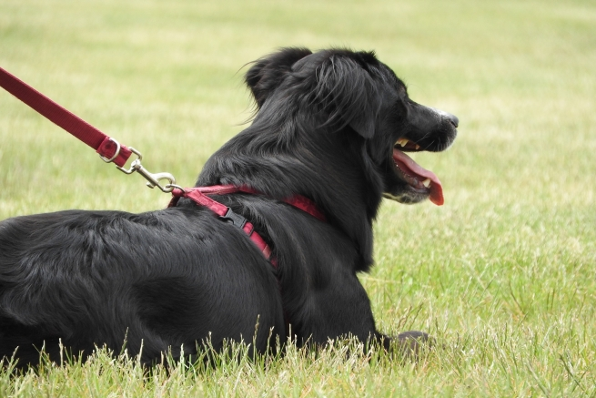 A black Collie laying down on the grass with a red lead