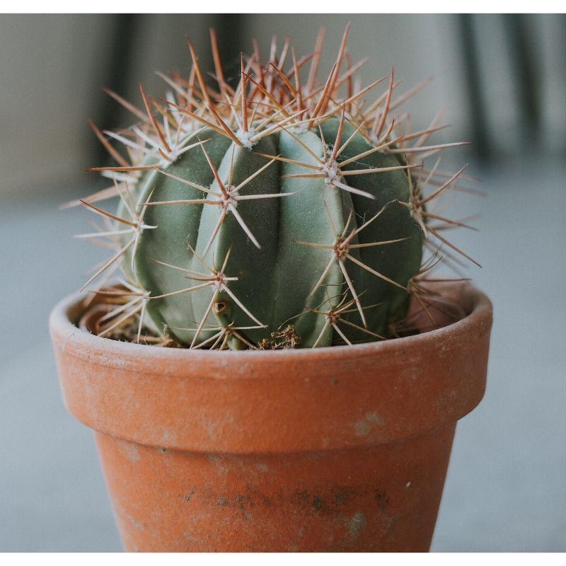 A spikey cactus